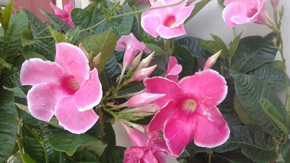 Mandevilla Alice Du Pont ~Lot of 2~ Starter Plants