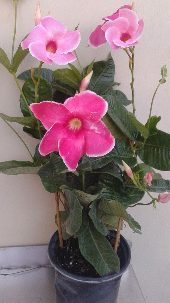 Mandevilla Alice Du Pont 6 inch Pot Trellis In Bloom