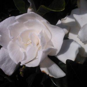 Gardenia August Beauty Gallon pot