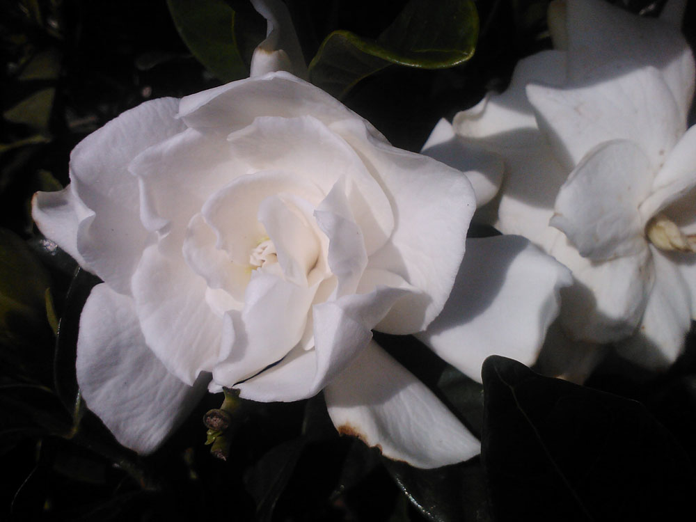 Gardenia August Beauty Starter Plant