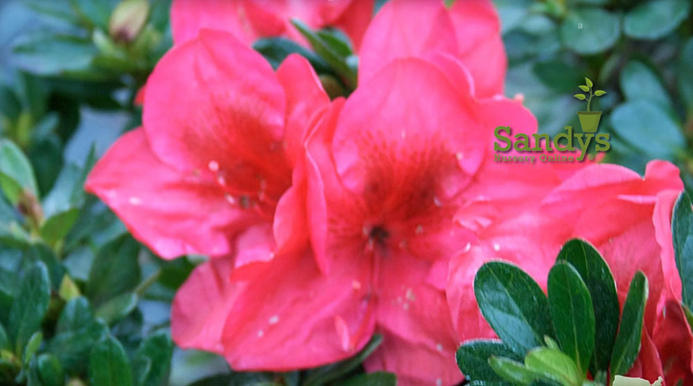 Azalea Coronado Red Gallon pot