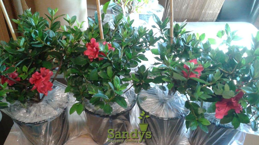 Azalea Coronado Red Gallon pot