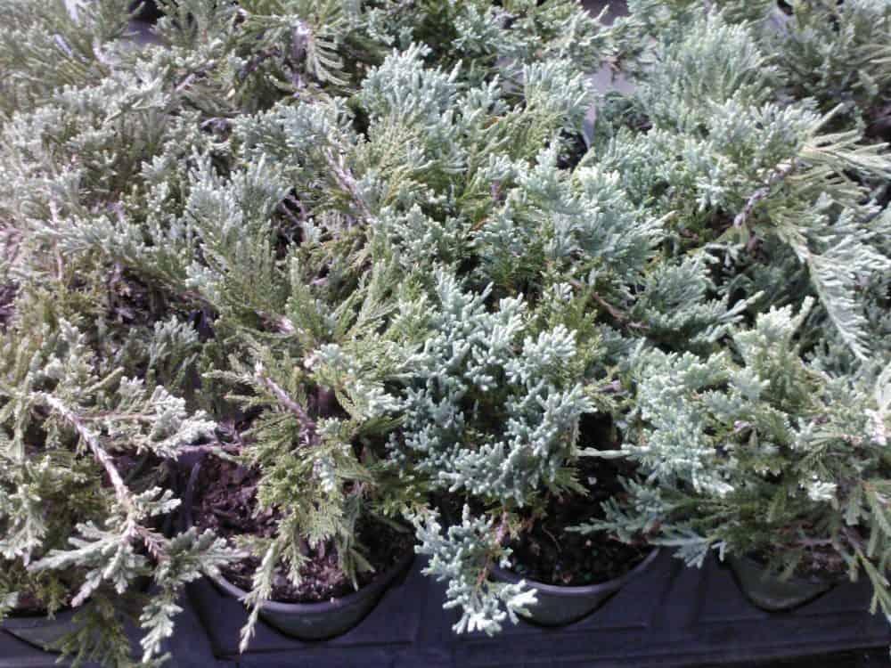 Juniper Blue Rug Wilton Ground Cover 4 inch pot