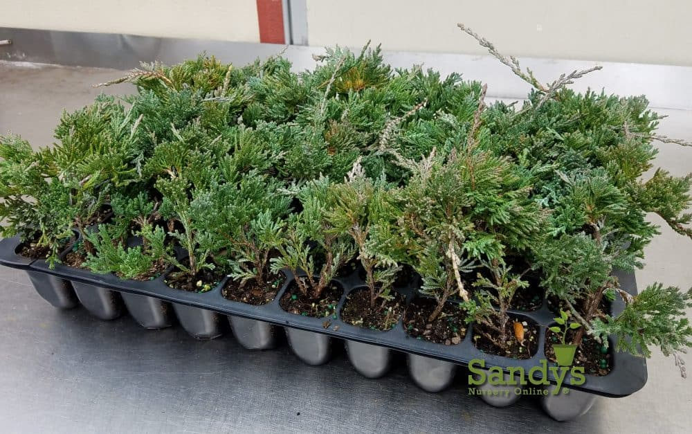 Juniper Blue Rug Wilton Ground Cover Tray 60 Starter Plants