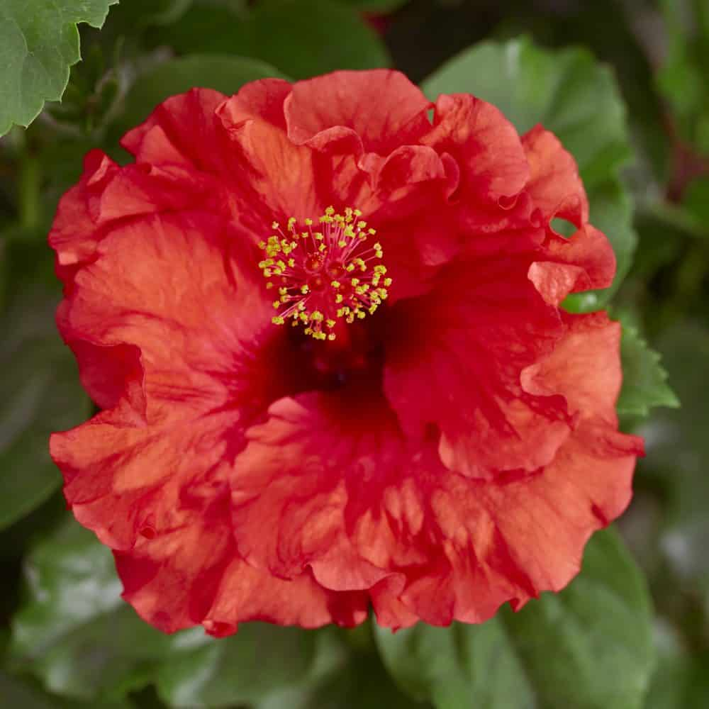 Hibiscus Bombshell™ Hollywood™ 4 inch pot