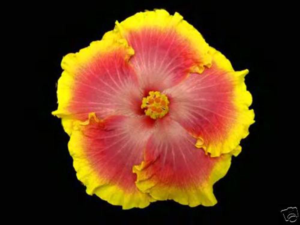 Hibiscus Cajun Color Bon Temp Starter Plant