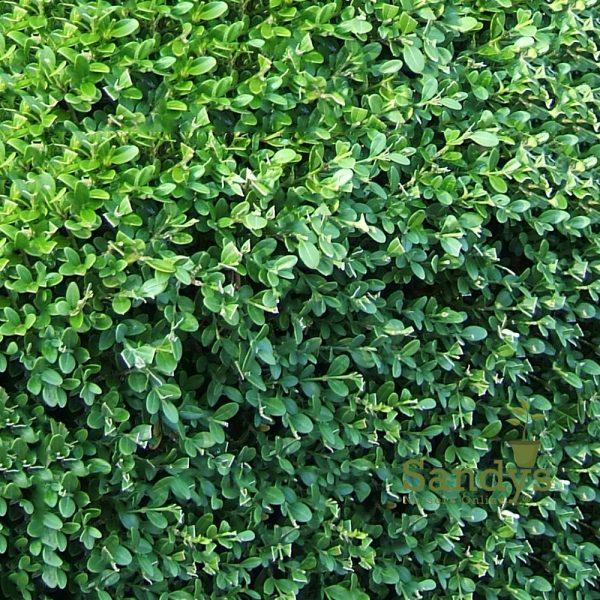 Boxwoods Wintergreen Buxus microphylla Quart pot