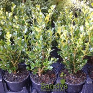 Boxwoods Wintergreen Buxus microphylla ~Lot of 12~ Quart pot