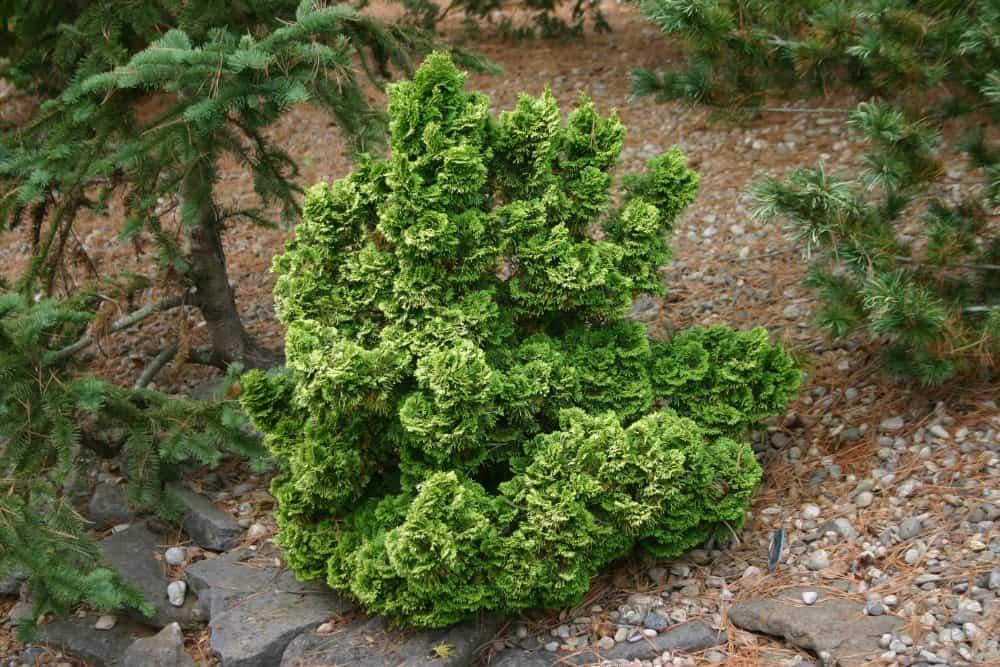 Chamaecyparis obtusa 'Nana' Dwarf Hinoki Cypress or False Cypress 4 inch pot