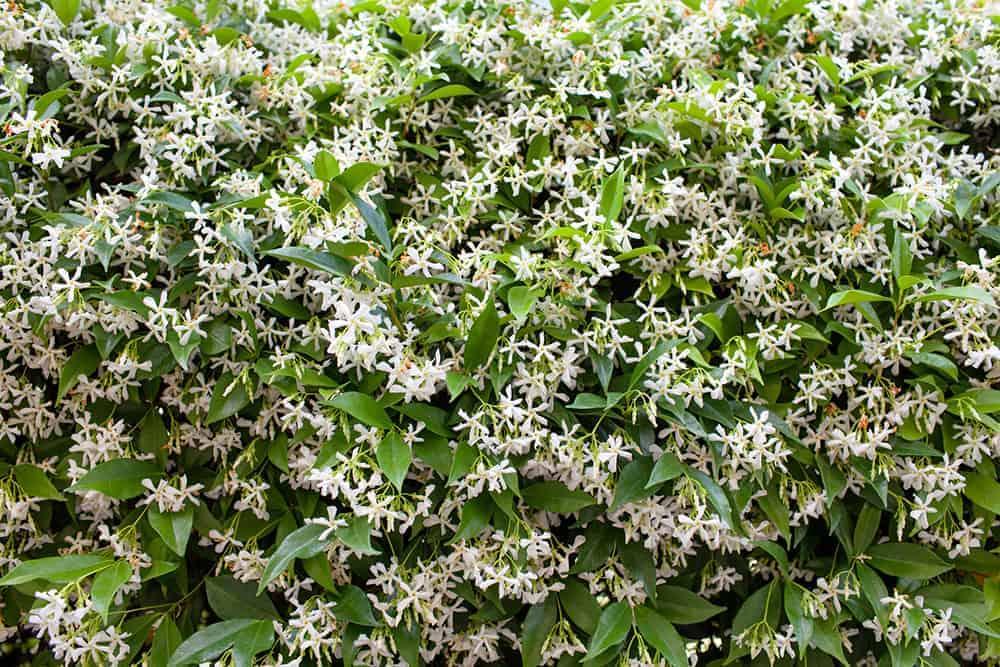 Jasmine Confederate ~Lot of 2~ Starter Plants