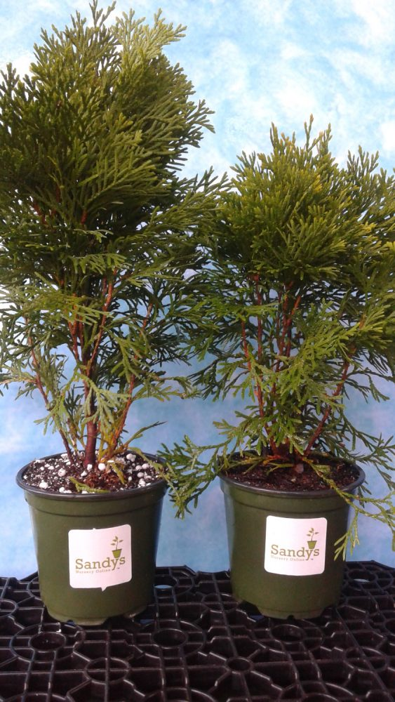 Thuja Emerald Green occidentalis Arborvitae 4 inch pot