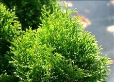 Thuja Emerald Green occidentalis Arborvitae ~Lot of 2~ Starter Plants