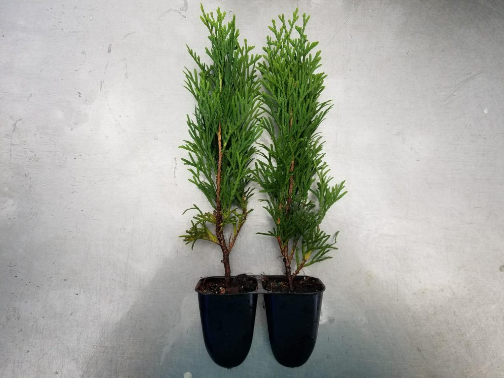 Thuja Emerald Green occidentalis Arborvitae ~Lot of 2~ Starter Plants