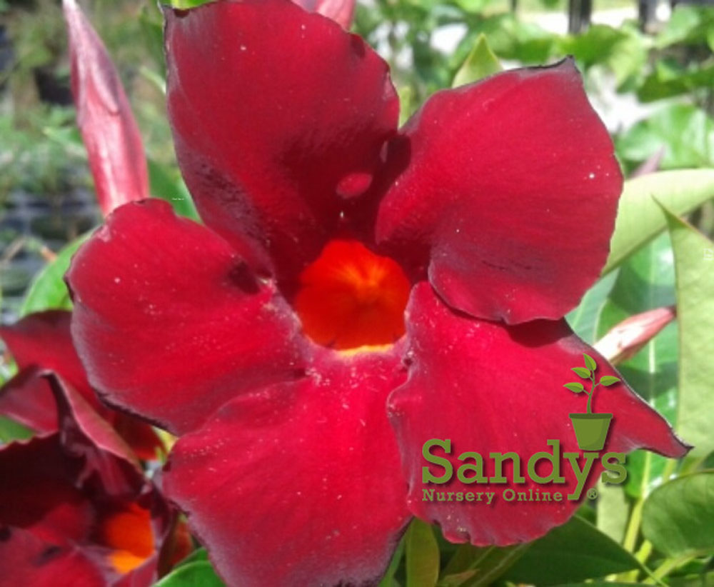 Mandevilla Garden Crimson ~Lot of 2~ Starter Plants