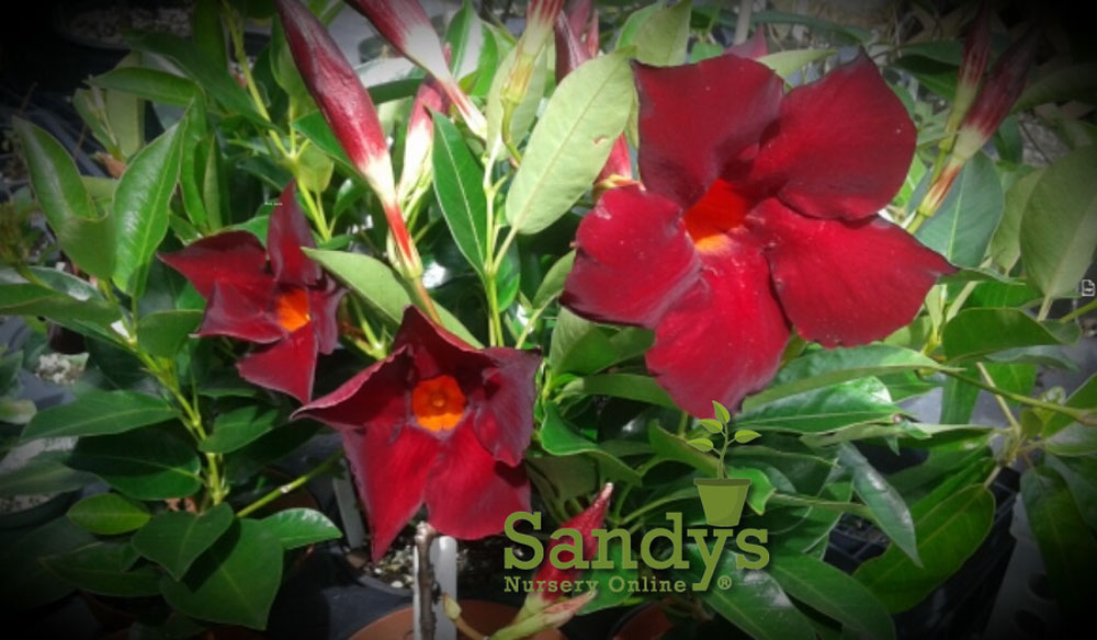 Mandevilla Garden Crimson ~Lot of 2~ Starter Plants