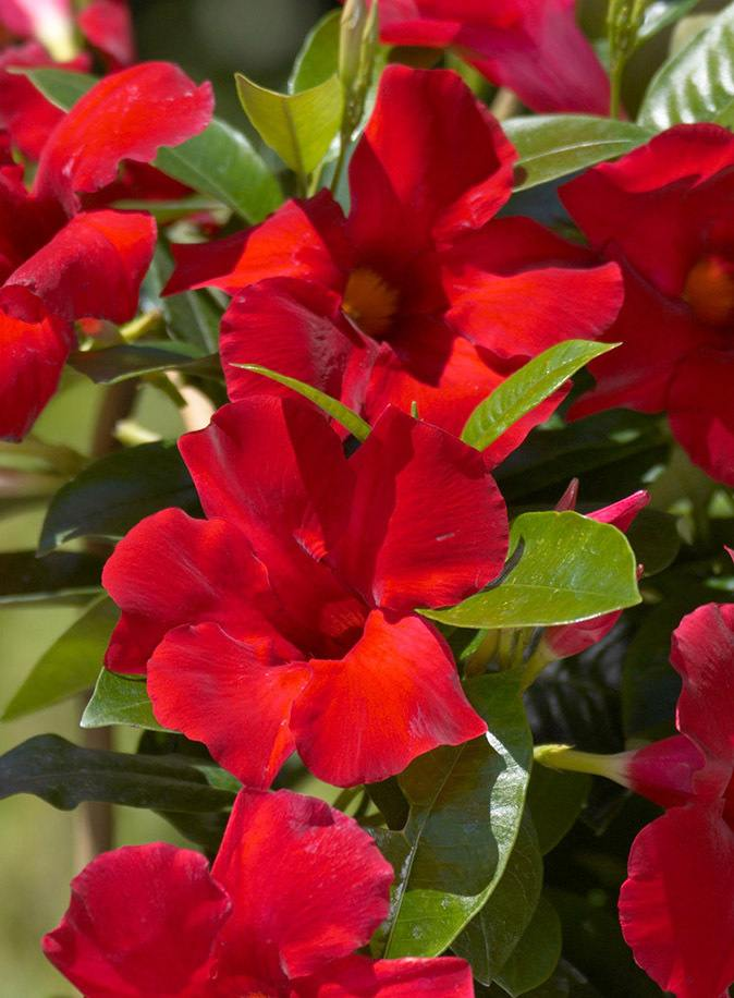 Mandevilla Giant Crimson ~Lot of 2~ Starter Plants