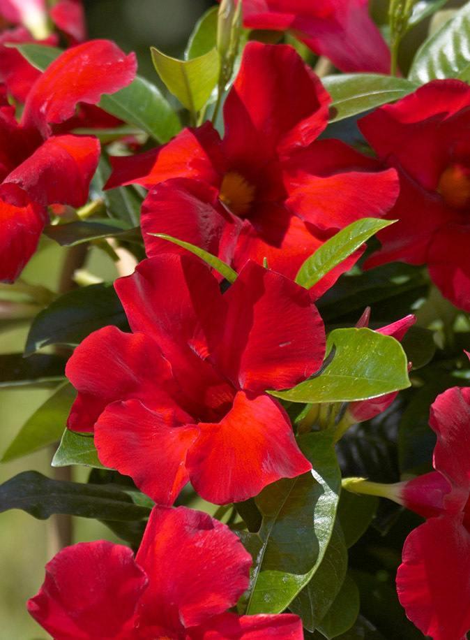 Mandevilla Giant Crimson 6 inch pot