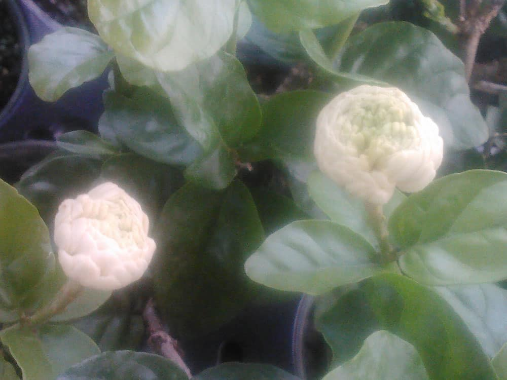"Jasmine Sambac ""Grand Duke of Tuscany"" 3 inch pot"