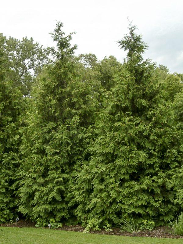 Thuja Green Giant Arborvitae Lot of 50 trees 3 inch pots