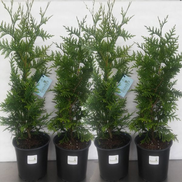 Thuja Green Giant Arborvitae Gallon pot
