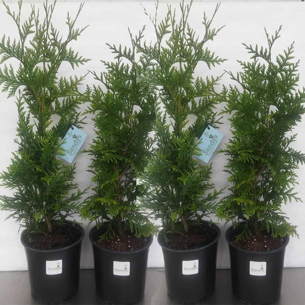 Thuja Green Giant Arborvitae Tree Lot Of 6 Gallon Pot Sandy Nursery Online