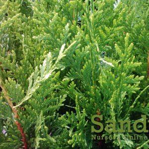 Thuja Green Giant Arborvitae ~Lot of 30~ 2.5 inch pot Starter Plants