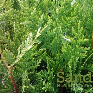 Thuja Green Giant Arborvitae Quart pot