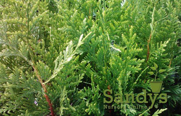 Thuja Green Giant Arborvitae Quart pot
