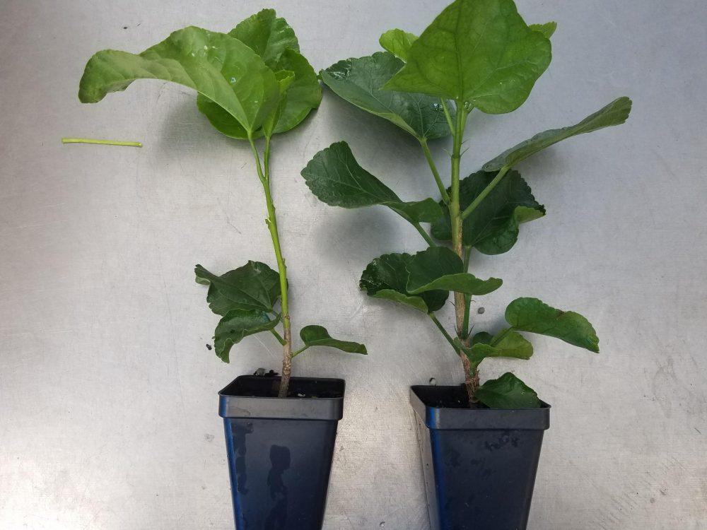 Hibiscus Cajun Color Night Runner Starter Plant