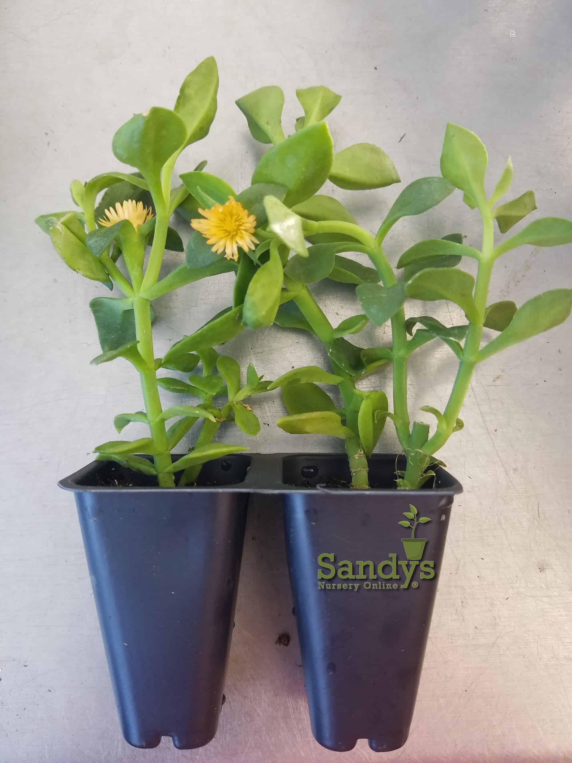 Ice Plant Aptenia cordifolia 'Baby Sun Rose Gold' ~Lot of 2~ Starter Plants