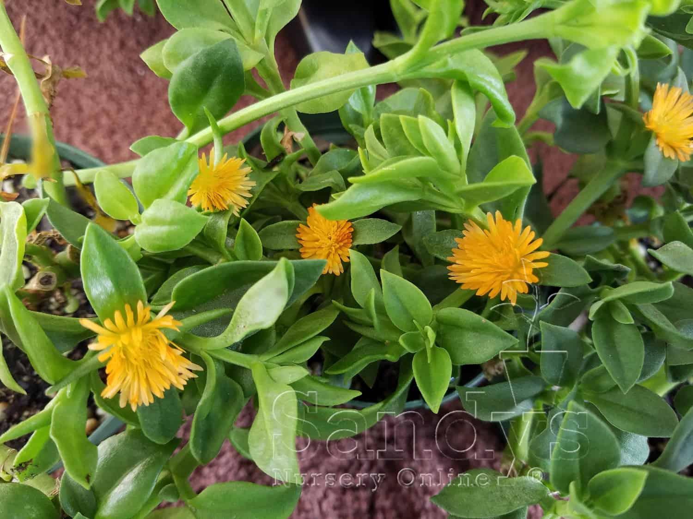 Ice Plant Aptenia cordifolia 'Baby Sun Rose Gold' 4 inch pot