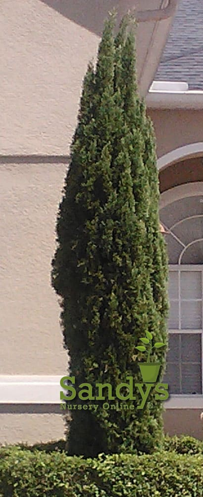 Cypress Italian Cupressus sempervirens 'Stricta' 4 inch pot