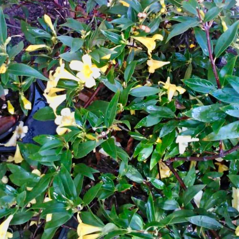 Jasmine Carolina Gelsemium sempervirens ~Lot of 2~ Starter Plants