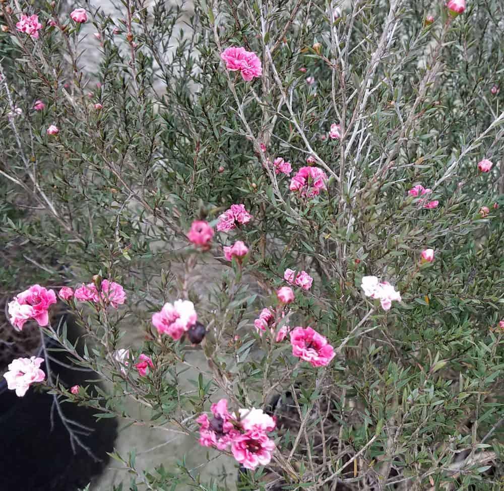 New Zealand Tea leptospermum scoparium Gallon pot