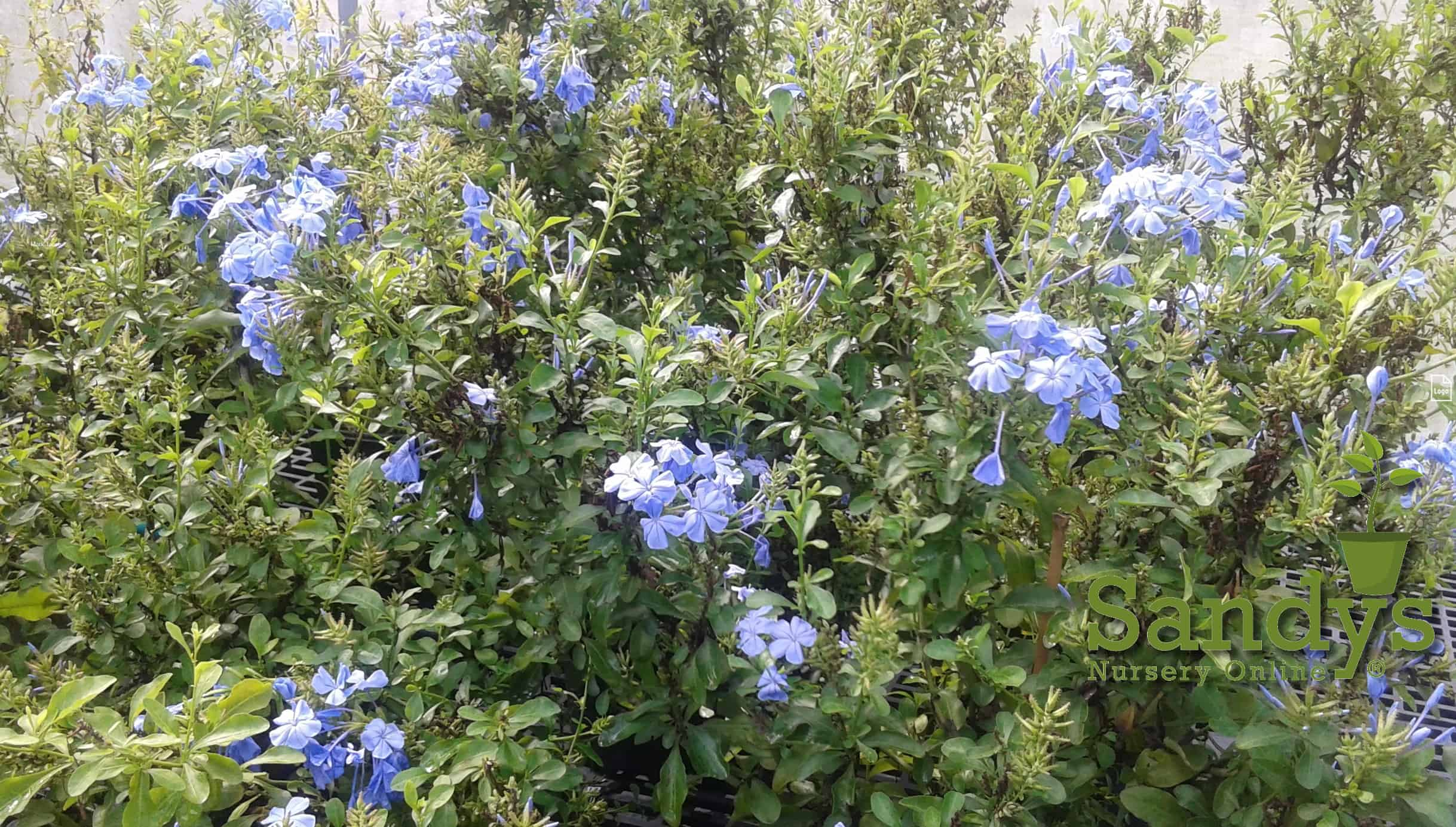 Plumbago auriculata Imperial Blue Gallon pot