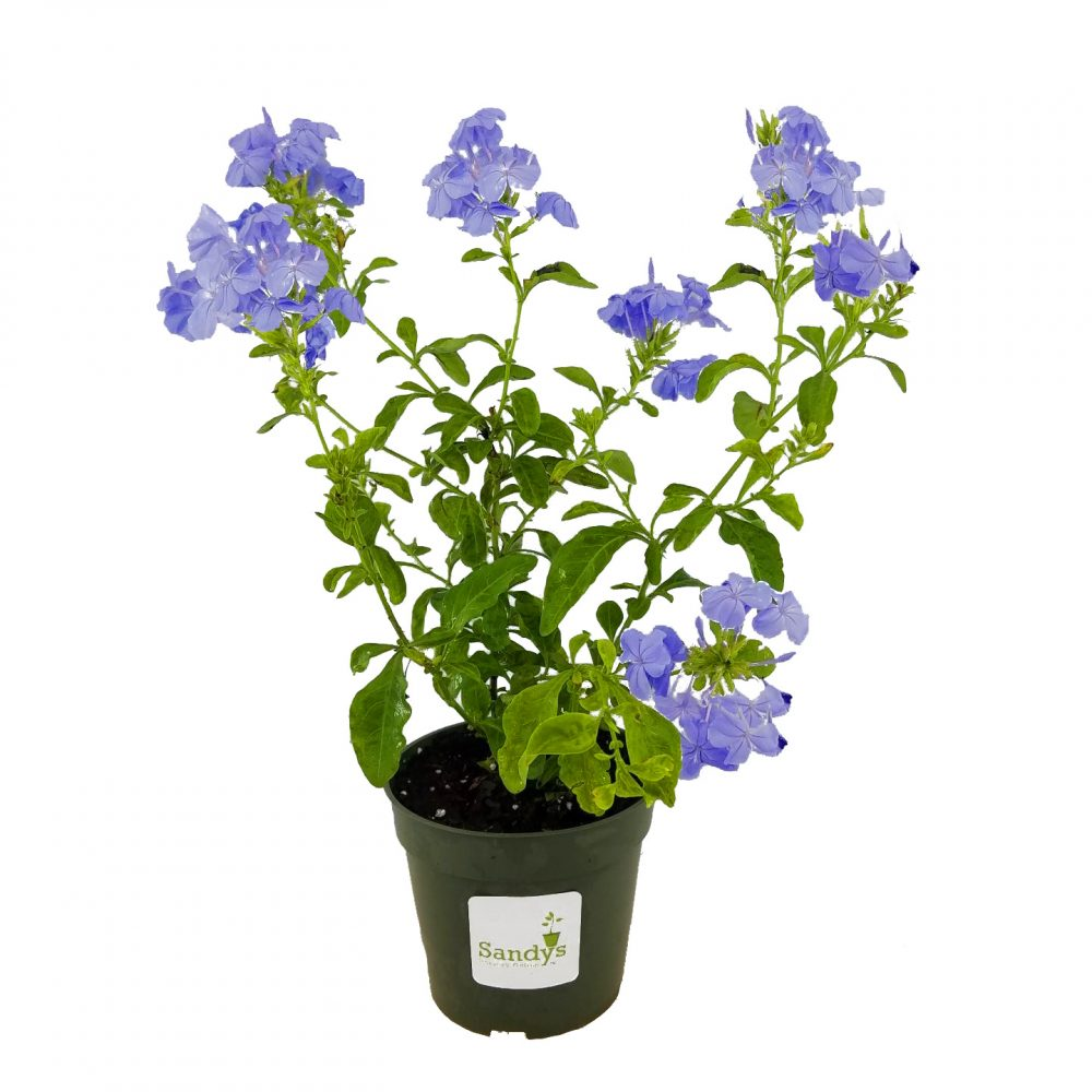 Plumbago auriculata Imperial Blue 4 Inch pot