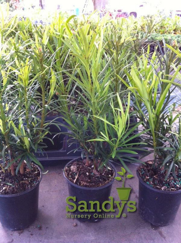 Podocarpus Macrophyllus Japanese Yew ~Lot of 12~ Quart pot