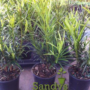 Podocarpus Macrophyllus Japanese Yew Quart pot