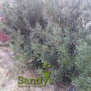 Podocarpus Macrophyllus Japanese Yew ~Lot of 6~ Gallon pots