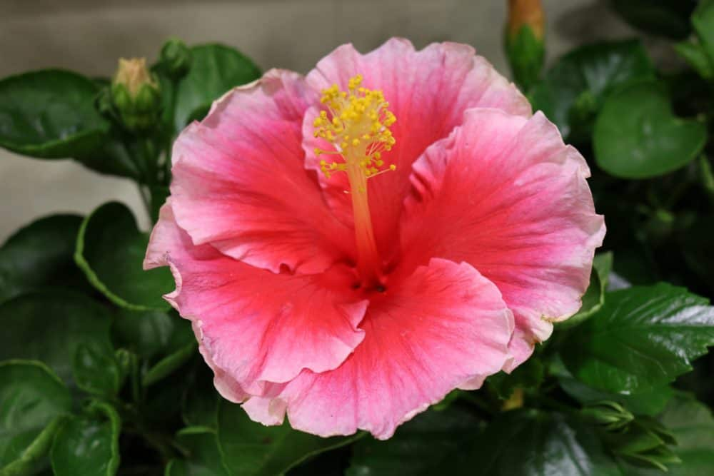 Hibiscus Runway Beauty™ Hollywood™ 4 inch pot