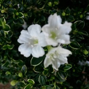 Serissa foetida 'Tree of a Thousand Stars' 4 inch pot