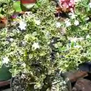 Serissa foetida 'Tree of a Thousand Stars' Gallon pot