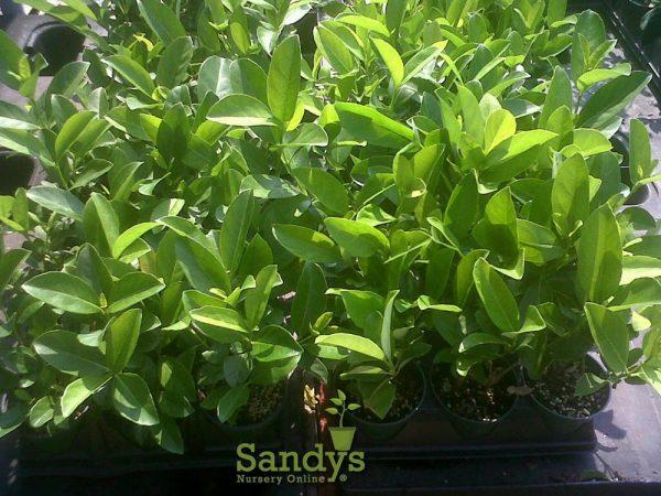Viburnum Sweet Odoratissimun ~Lot of 6~ Gallon pot