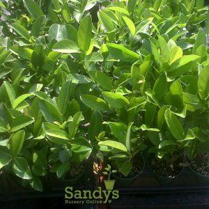 Viburnum Sweet Odoratissimun Quart pot