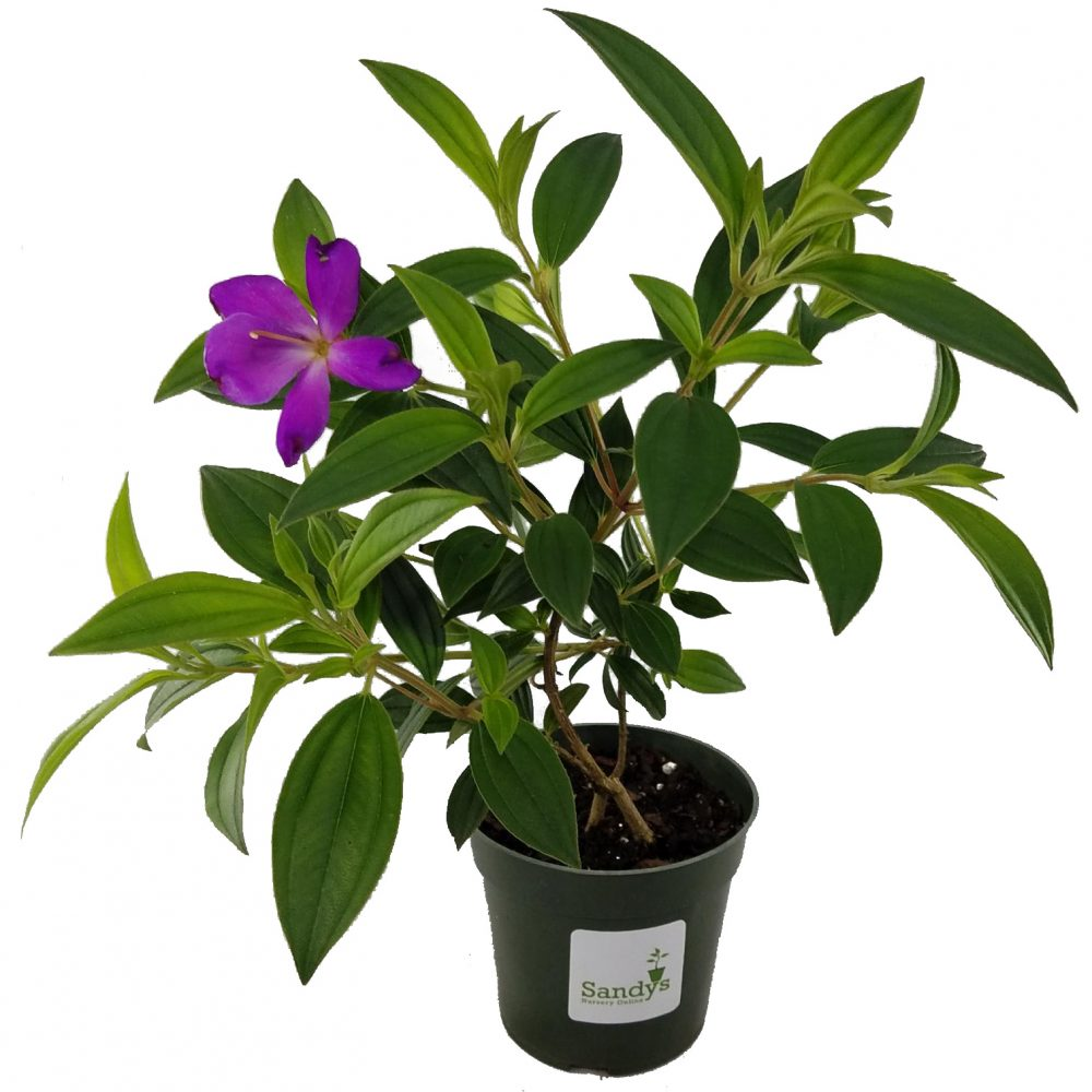 Tibouchina lepidota Ecuador Purple Princess GloryBush 4 inch pot