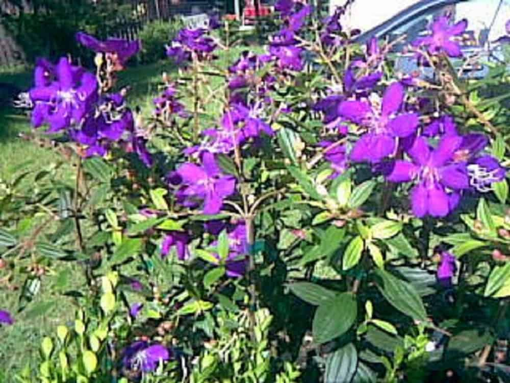 Tibouchina lepidota Ecuador Purple Princess GloryBush Quart pot