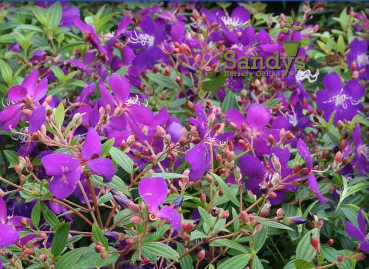 Tibouchina lepidota Ecuador Purple Princess GloryBush ~LOT of 2~ Starter Plants