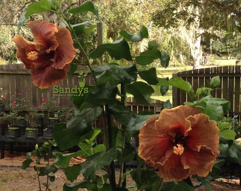 Hibiscus Cajun Color Voodoo Magic Starter Plant