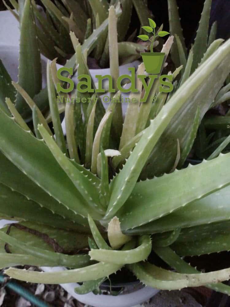Aloe Vera 4 inch pot