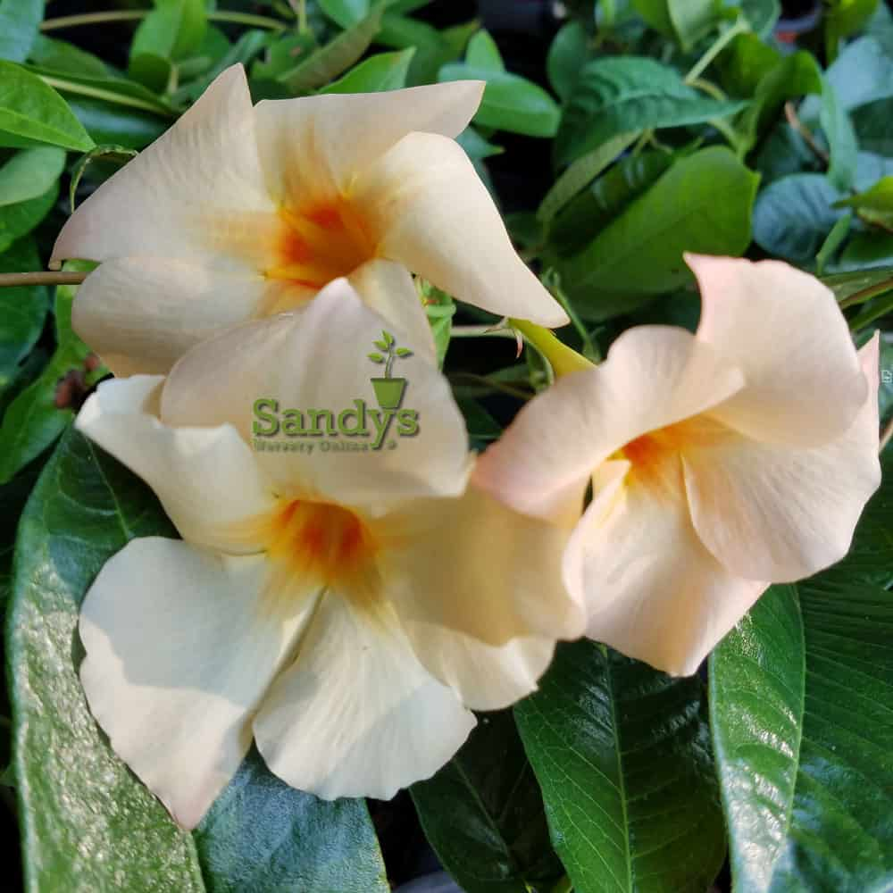 Mandevilla Apricot ~Lot of 2 ~ Starter Plants
